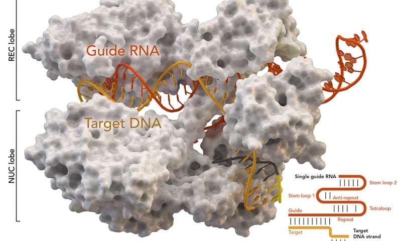 Researchers modify CRISPR to reorganize genome