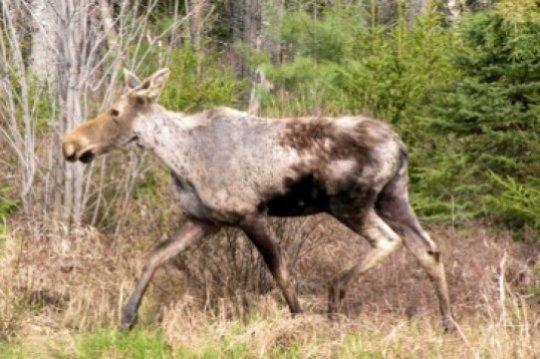 Winter ticks killing moose at alarming rate