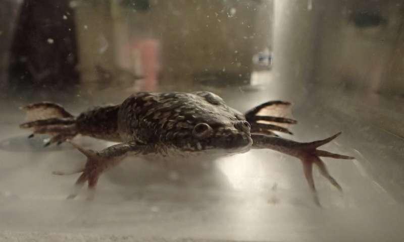 Bioreactor device helps frogs regenerate their legs 1
