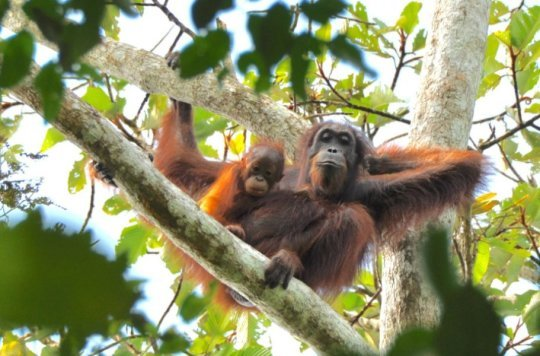 Despite government claims orangutan populations have not increased