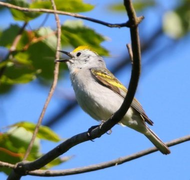 Discovery Rare three species hybrid warbler