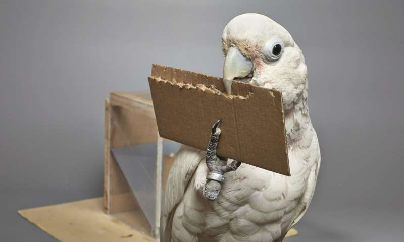 Goffins cockatoos can create and manipulate novel tools