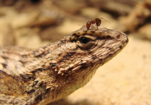 Lizards adapt to invasive fire ants reversing geographical patterns of lizard traits