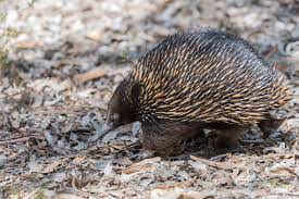 Modeling echidna forelimbs to shed new light on mammal evolution