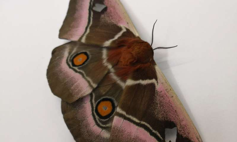 Moths survive bat predation through acoustic camouflage fur