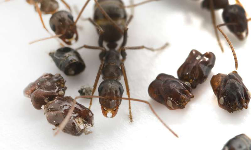 New research uncovers the predatory behavior of Floridas skull collecting ant