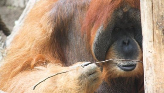 Orangutans spontaneously bend straight wires into hooks to fish for food