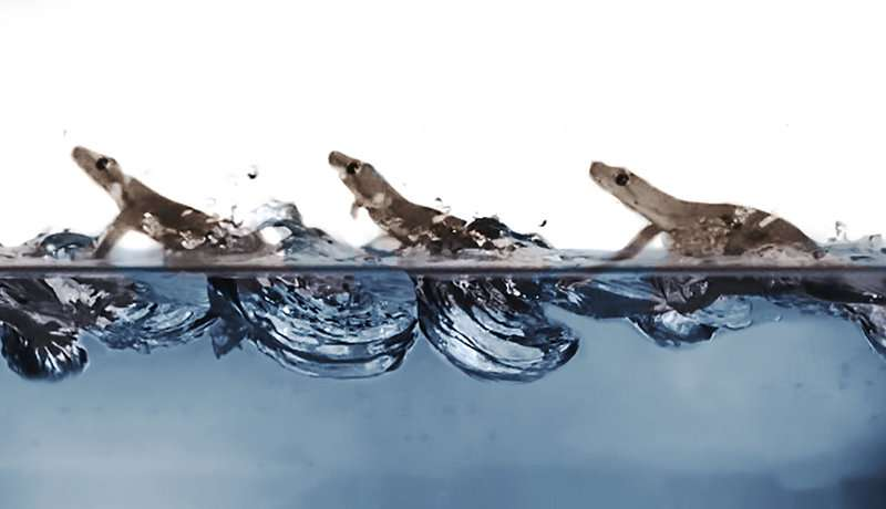 Acrobatic geckos highly maneuverable on land and in the air can also race on water