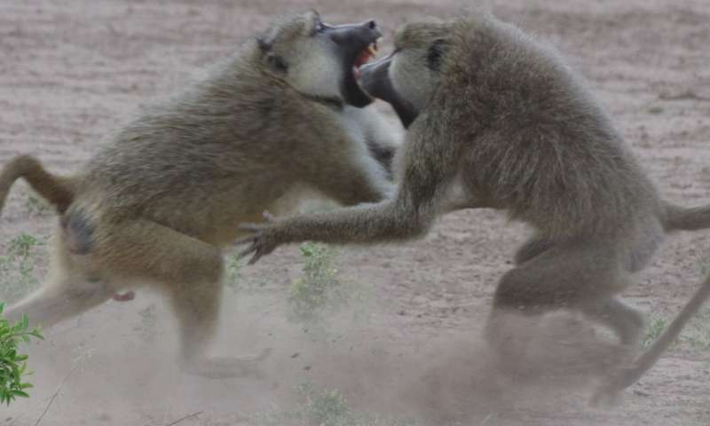 Baboon sexes differ in how social status gets under the skin