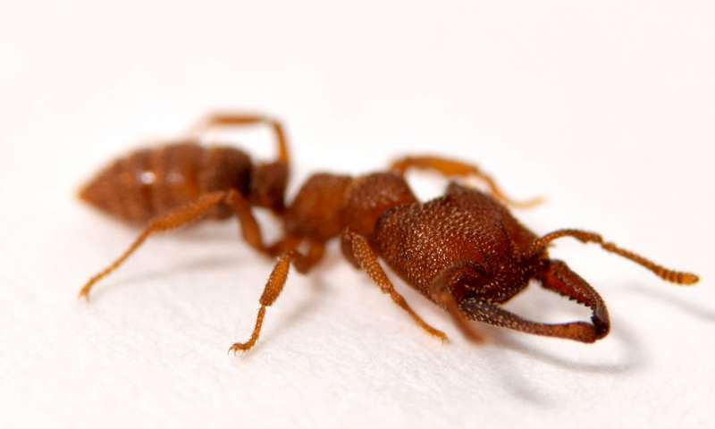 Dracula ants possess fastest known animal appendage The snap jaw