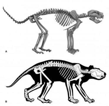 First ever look at complete skeleton of Thylacoleo Australias extinct marsupial lion