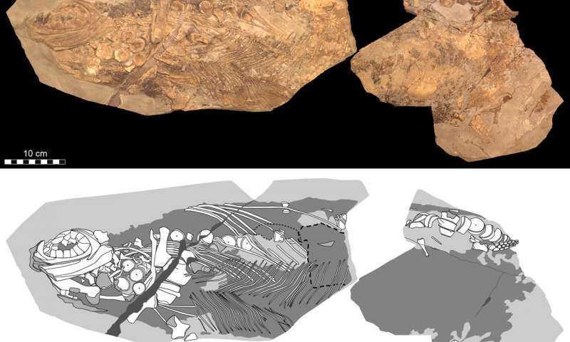 Soft tissue shows Jurassic ichthyosaur was warm blooded had blubber and camouflage