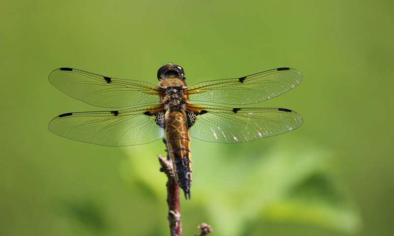 Three generations 1000s of miles Scientists unlock mystery of a dragonflys migration
