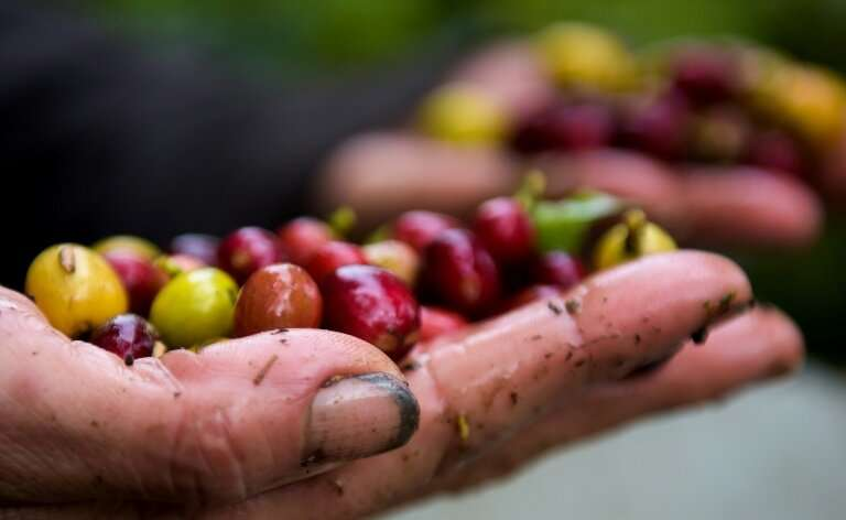 60 percent of coffee varieties face extinction risk