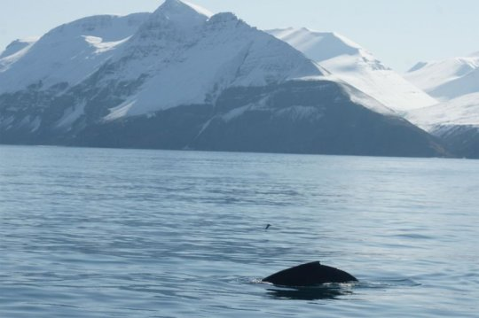 Humpback whales songs at subarctic feeding areas are complex progressive