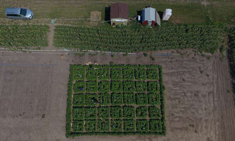 Scientists engineer shortcut for photosynthetic glitch boost crop growth by 40 percent