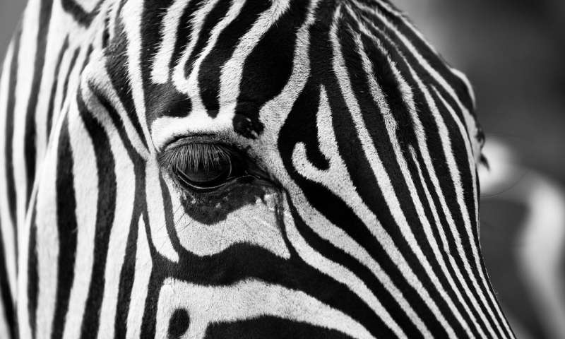Zebra tribal bodypaint cuts fly bites 10 fold study