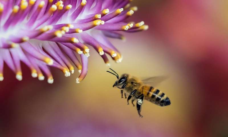 Biologists identify honeybee clean genes known for improving survival