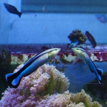 Fish Appear to Recognize Themselves in the Mirror