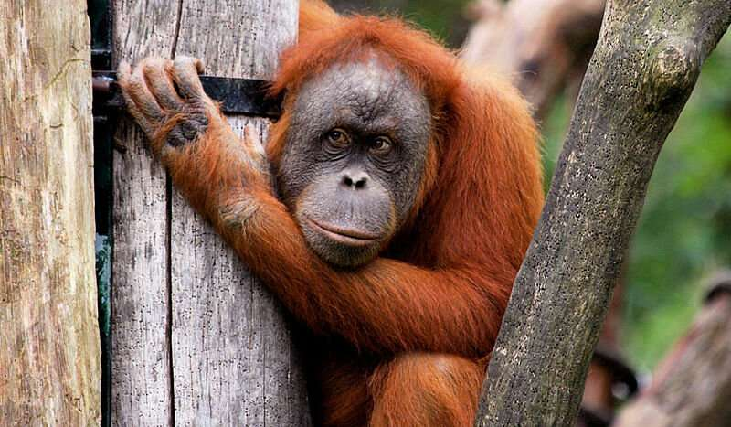 Orangutans make complex economic decisions about tool use depending on the current market situation
