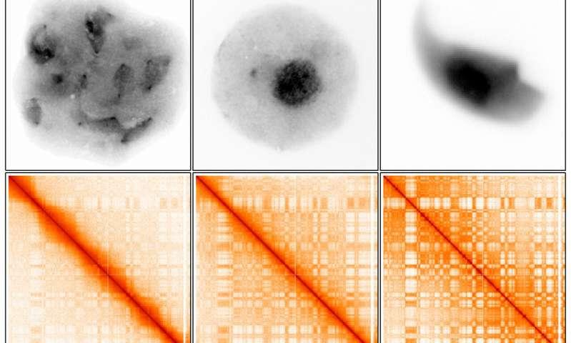 Scientists reveal how 3 D arrangement of DNA helps perpetuate the species