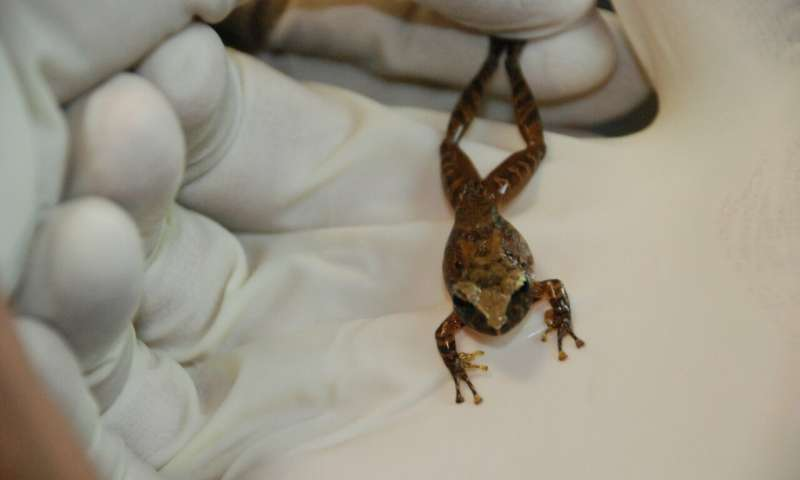 Bacteria in frog skin may help fight fungal infections in humans