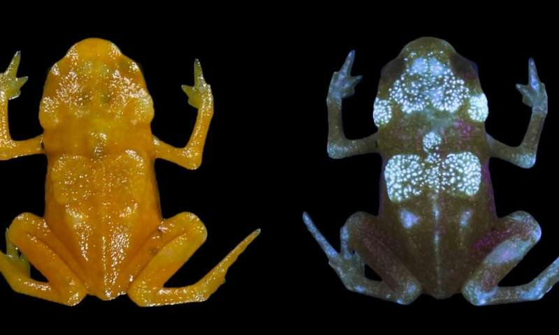 Fluorescence discovered in tiny Brazilian frogs