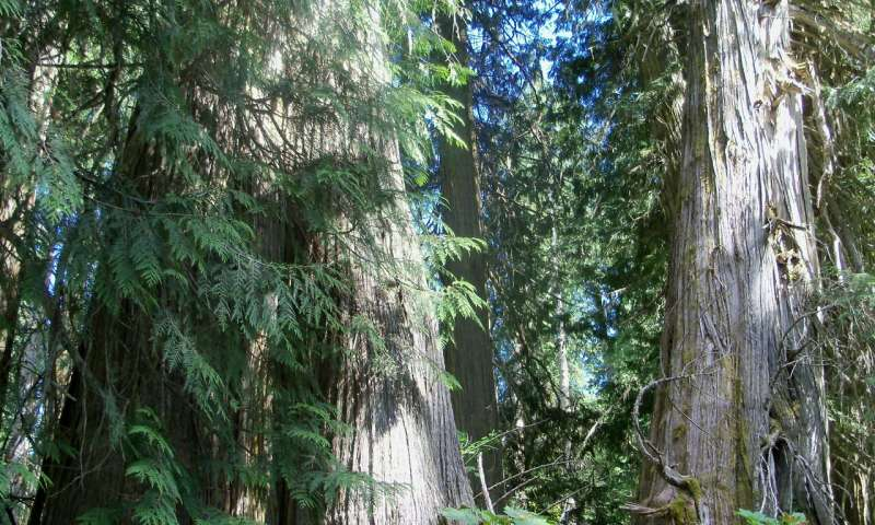 Rethinking old growth forests using lichens as an indicator of conservation value