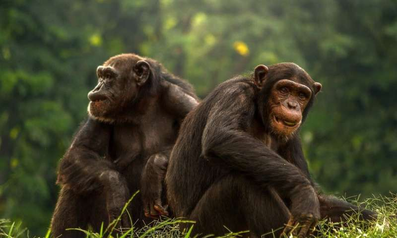 Showy male primates have smaller testicles
