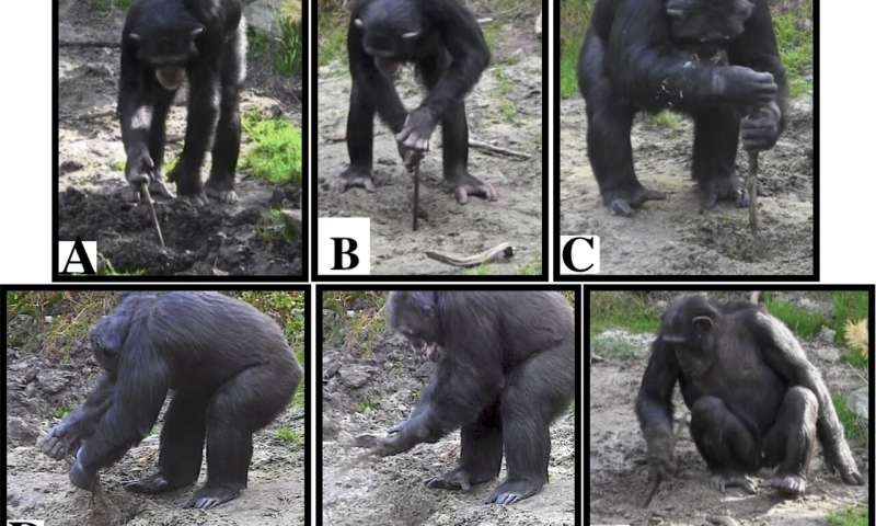 Captive chimpanzees spontaneously use tools to excavate underground food