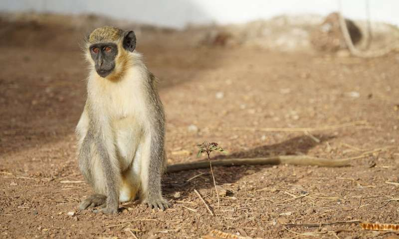 Monkey experiments offer clues on origin of language