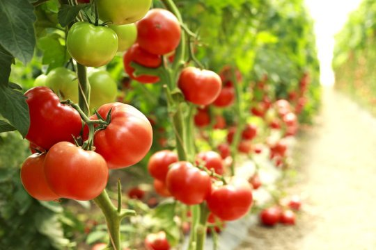 Tomato pan genome makes bringing flavor back easier