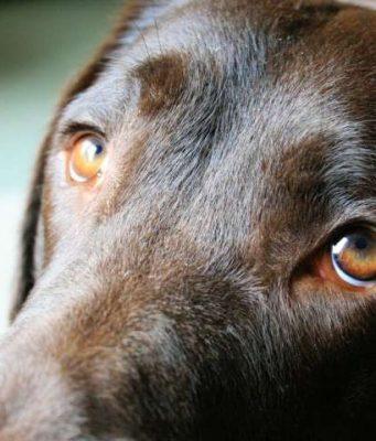 The evolution of puppy dog eyes