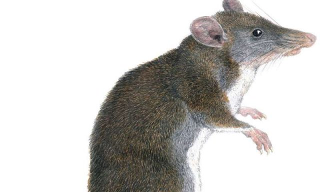 Two new species of tweezer beaked hopping rats discovered in Philippines