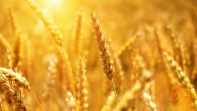 cropped Scientists develop climate ready wheat that can survive drought conditions