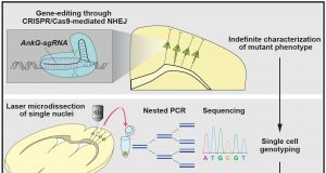 Linking phenotypes to genotypes A newly devised gene editing strategy