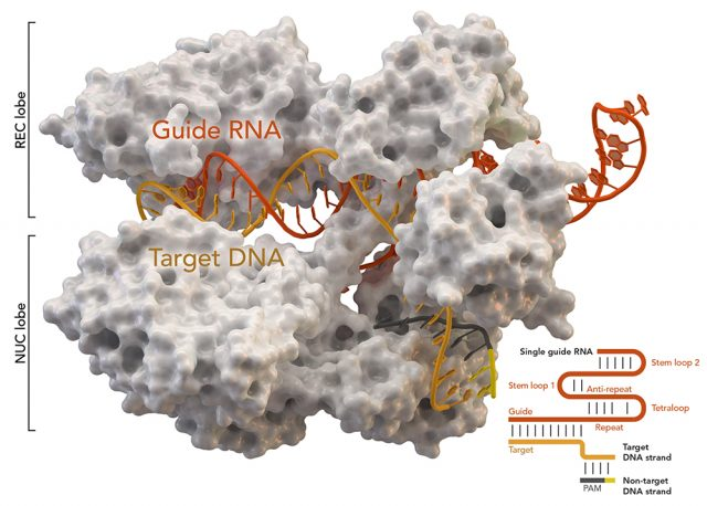 Scientists capture images of gene editing enzymes in action