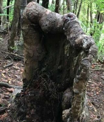 cropped A tree stump that should be dead is still alive heres why