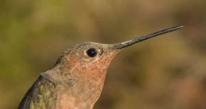 cropped Andean hummingbirds take different evolutionary paths to high altitudes