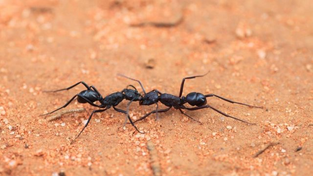 cropped Australian ants prepared for Insect Armageddon