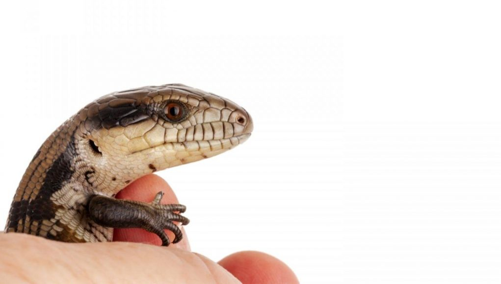 cropped Australian research finds little lizards learn very quickly