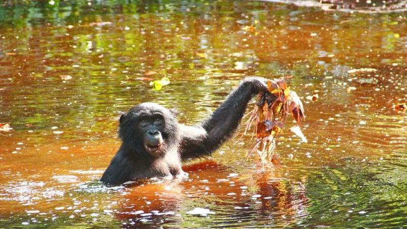 cropped Bonobo diet of aquatic greens may hold clues to human evolution