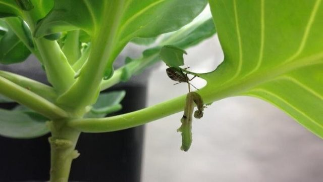 cropped Effectiveness of using natural enemies to combat pests depends on surroundings