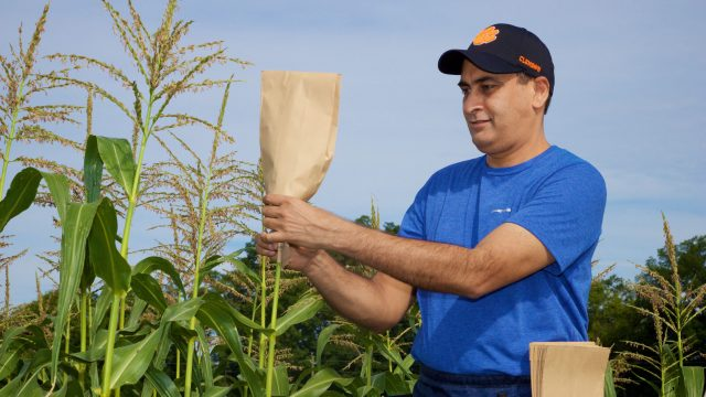 cropped Genetic breakthrough in cereal crops could help improve yields worldwide