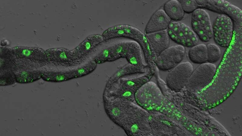 cropped Genetic discovery in worms suggests they can be separated