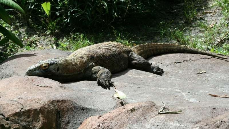 cropped Komodo dragon genome reveals clues about its evolution