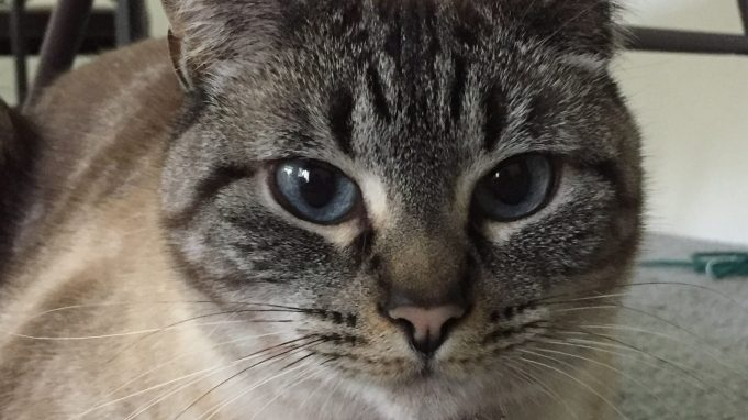 cropped Pet tags link widely used flame retardant to hyperthyroidism in cats