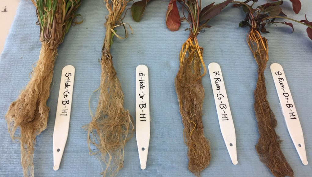cropped Plants under drought stress change their microbes through their roots