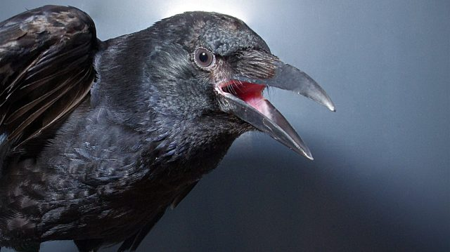cropped Crows consciously control their calls