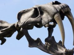 cropped Intense look at La Brea Tar Pits explains why we have coyotes not saber toothed cats